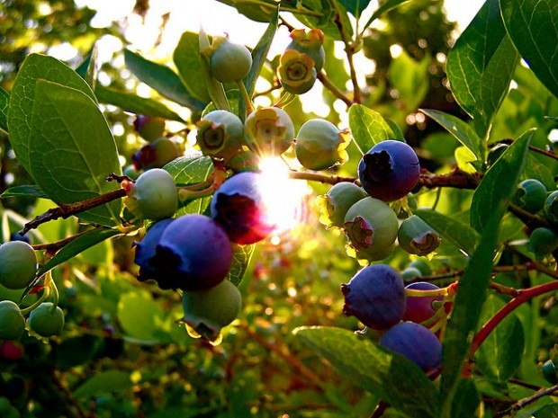 Raising Blueberries