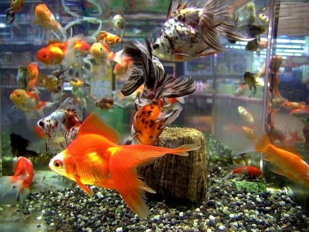 Goldfish Aquarium Decorations