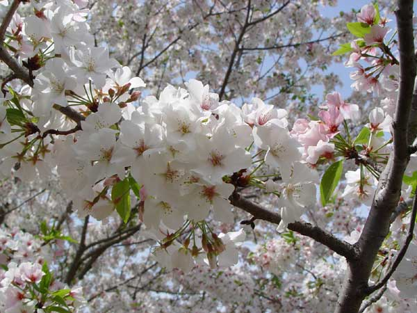 Ornamental Cherry Tree Varieties
